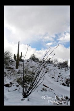 Seldom do you see the saguaro and ocotillo cactus surrounded by white.