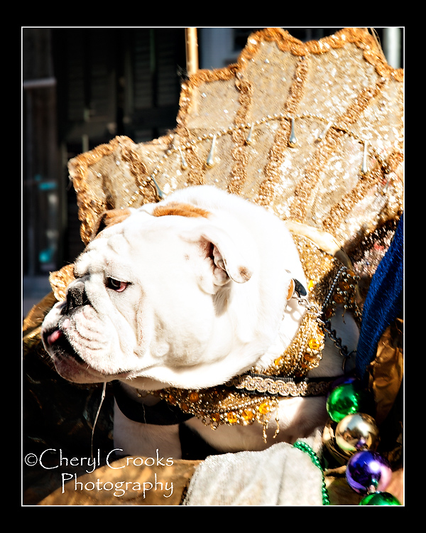 The fancy collar didn't seem to bother this bulldog much who paraded with the Krewe of Barkus on a golden horse!