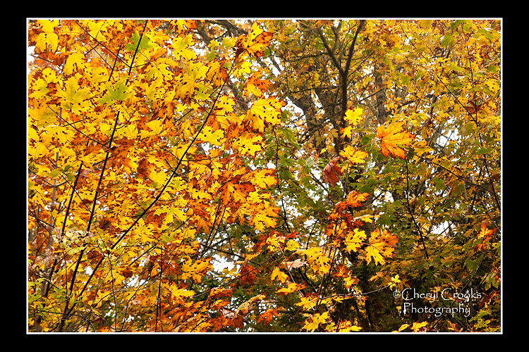 The patterns of the maples' golden leaves are almost too much for the eyes to behold this time of year.