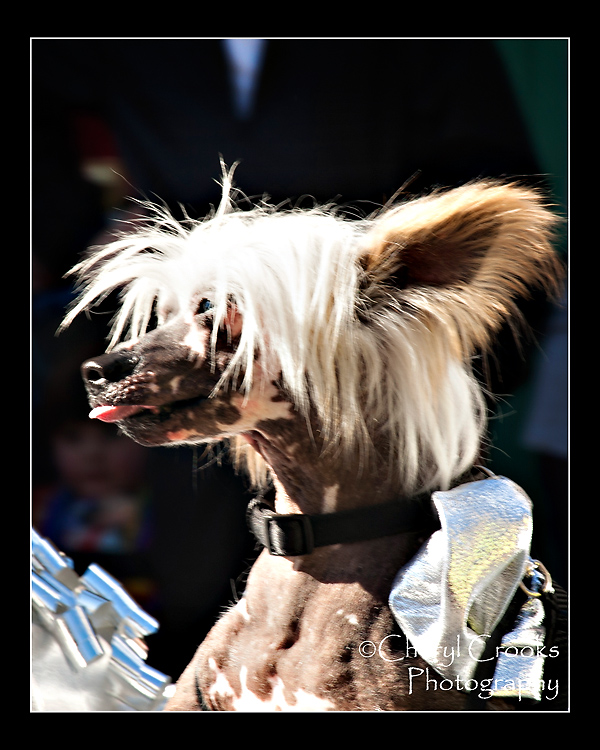 This funny looking little dog rode along the parade route on one of the royalty's floats.