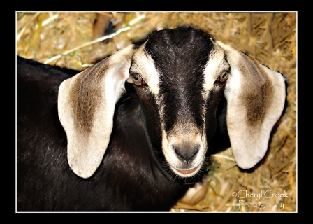"Now I know where George Lucas got his inspiration for the character of Jar-Jar Binks in ""Star Wars.""  This little Nubian goat has a face just like him!"
