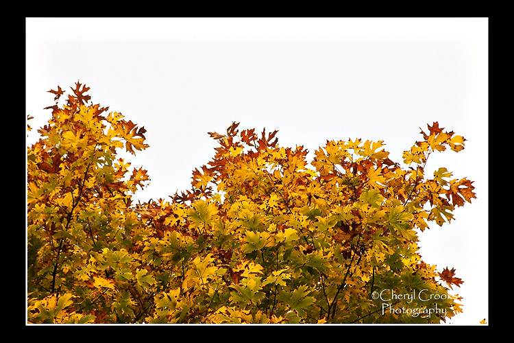 The turning maple leaves,  their edges polka dotted with dark spots, dramatically contrast against the morning's gray, foggy sky.