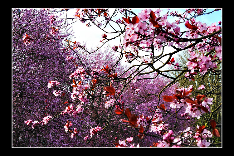 Almost overnight, the plum tree burst into bright pink blossoms.