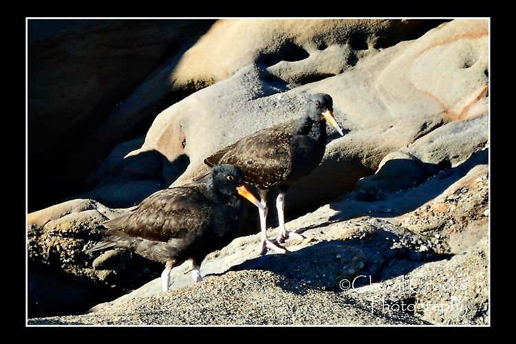 Two of the family's chicks stroll down towards the water. They don't yet have the bright beaks nor the ability to fly.