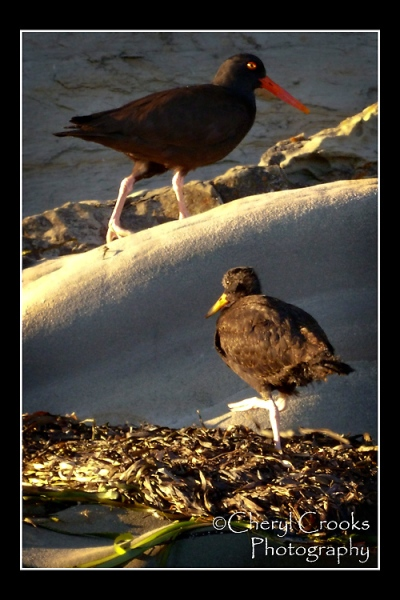The oystercatcher parent keeps a close eye on the chick exploring on the water's edge.