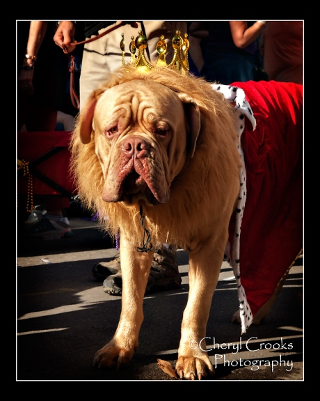 This handsome mastiff seemed quite dignified in his Mardi Gras crown and robe during the Krewe of Barkus parade.