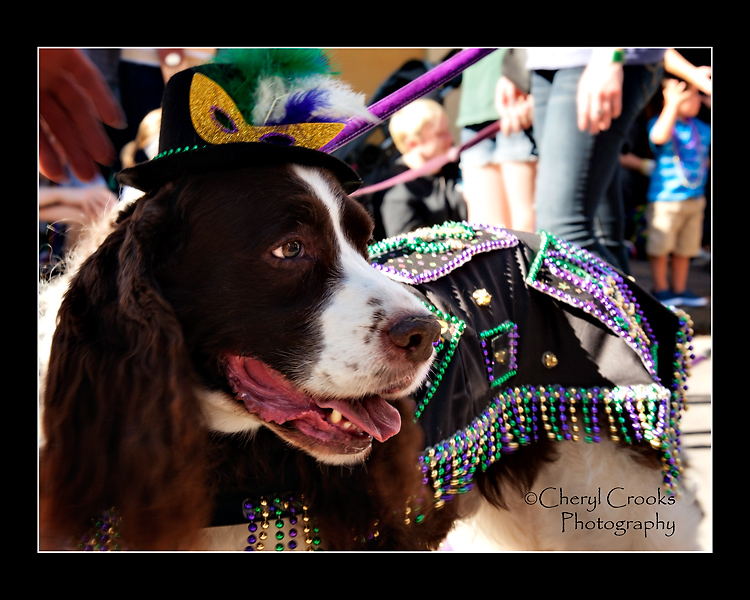 This spaniel was decked out in full Mardi Gras regalia!