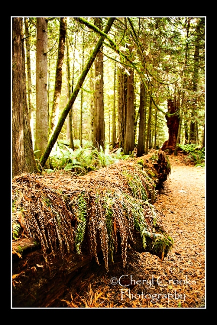 The Lake Whatcom Trail quickly leads you into a woods of towering trees.