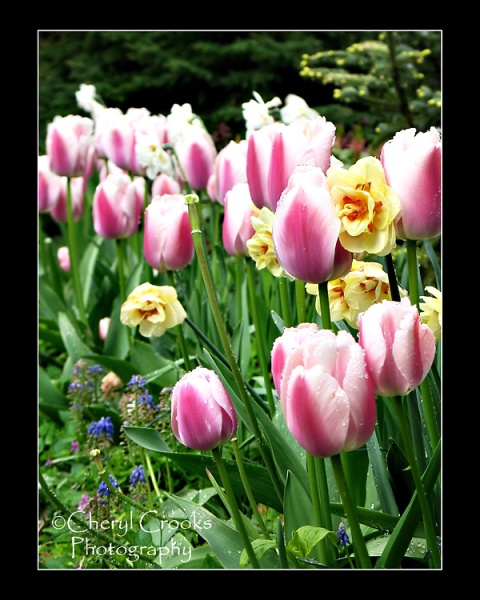 My tulips take over inthe garden just as the daffodils are at the end of their run.