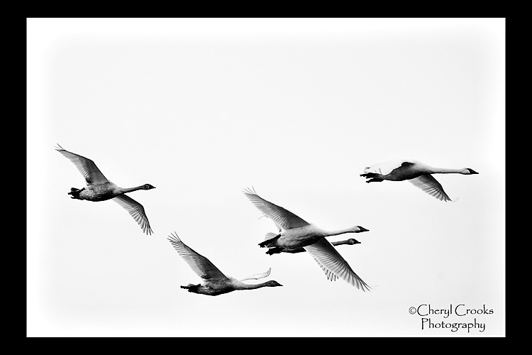 The swans in flight are a incredible sight wtih wings that can span eight feet.
