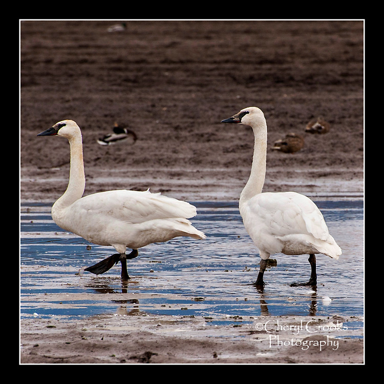 A couple of trumpeters wade together through the mucky mud.