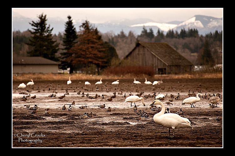The agricultural fields of Skagit Valley make a pcituresque setting for swans and mallards alike.