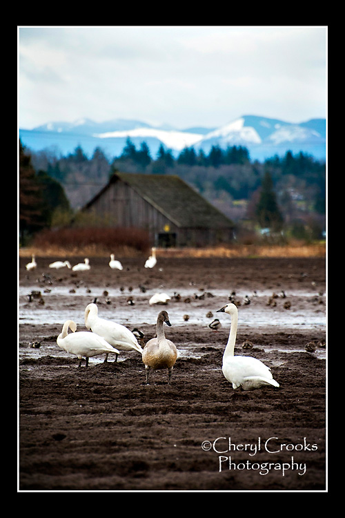 The farm fields of Northwest Washington's Skagit Valley provide a winter home for rumpeter swans.