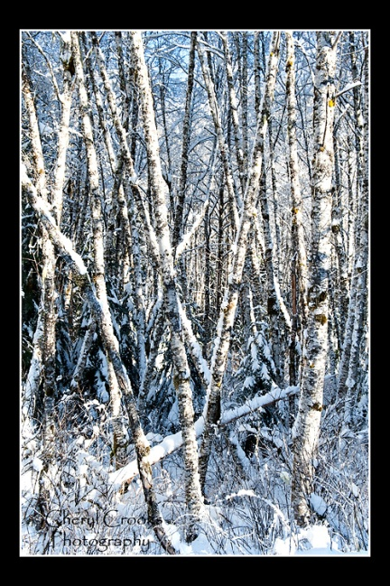 The white barren birch trees stand stand starkly in the snow.