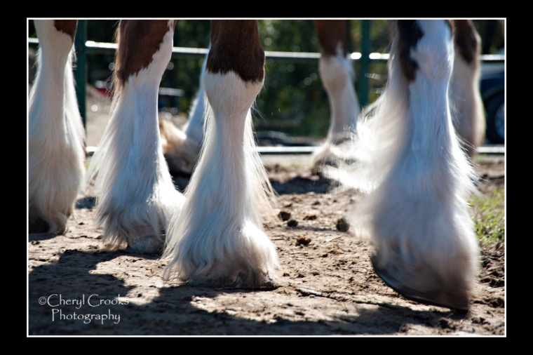 The beautiful white feathered legs of the Clydesdales .