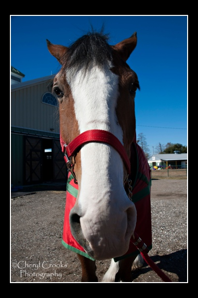 Every Clydesdale chosen for the team must have a white blaze, like Levi here.