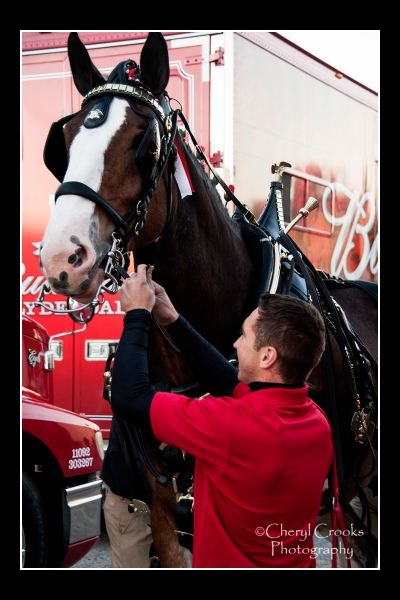 Rudy adjusts a harness as he hitches up one of the Clydesdales.