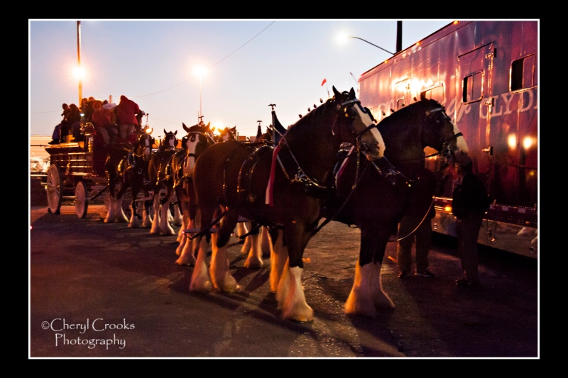 In the light of dusk, the Budweiser Clydesdales are ready to parade.
