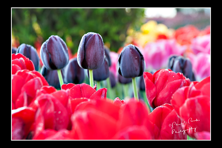 Three purple tulips peak above the brilliant red tulips in the bed outside the gardent's gates.
