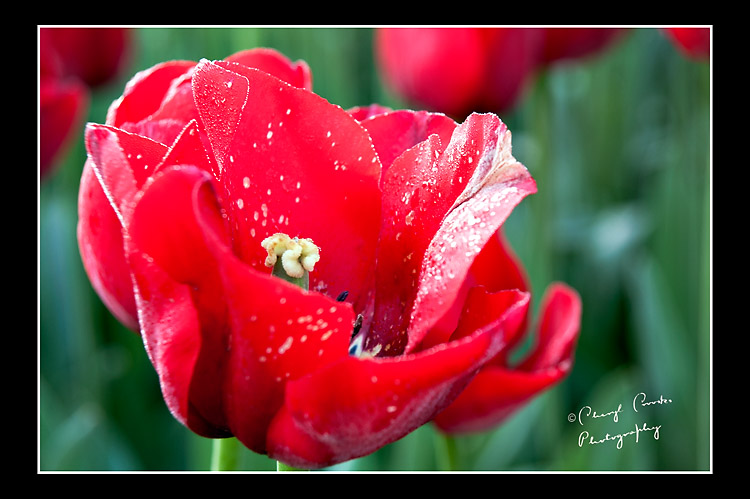 Getting in close, you can see the beauty of this red tulip.